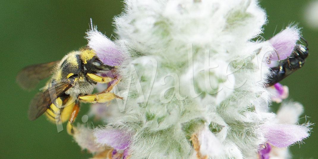 Bild: Garten-Wollbiene, Anthidium manicatum, am Woll-Ziest, rechts noch eine kleine Maskenbiene; Hylaeus spec.
