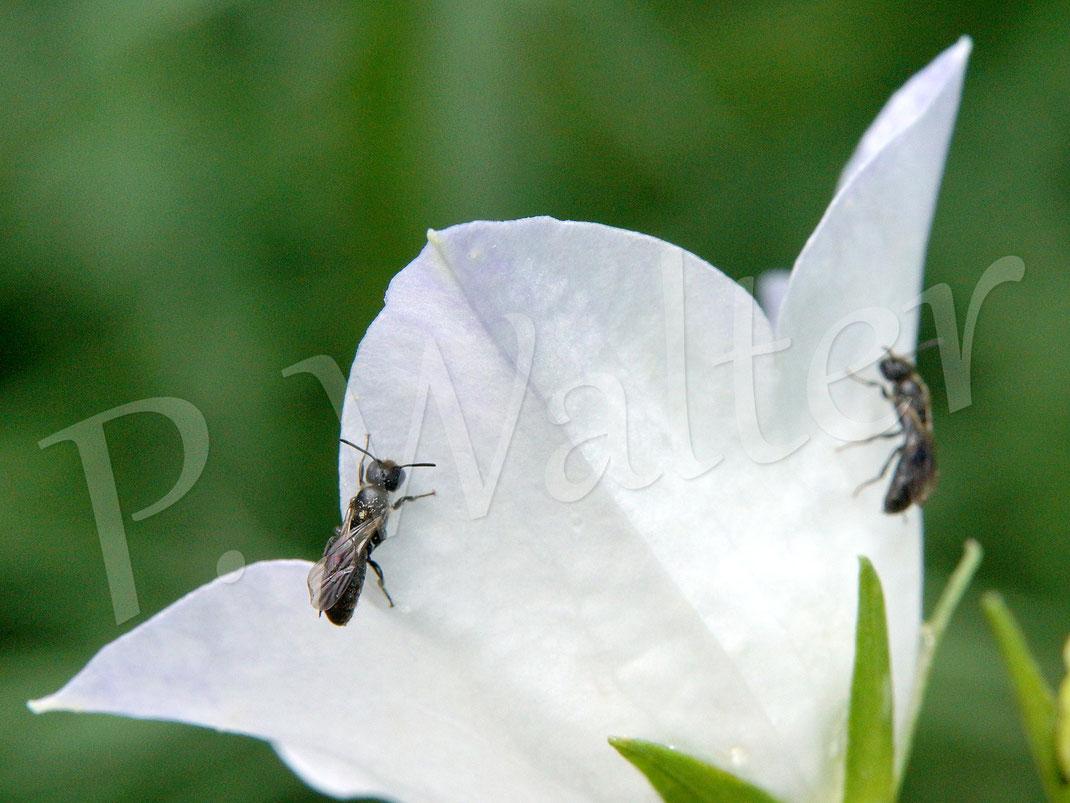 10.06.2018 : auch die kleine Glockenblumen-Scherenbienen-Art findet man an den Blüten