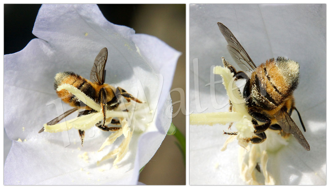 Bild: eine Blattschneiderbiene, Megachile spec., weiße Blüte, Pfirsichblättrige Glockenblume, Campanula persicifolia alba
