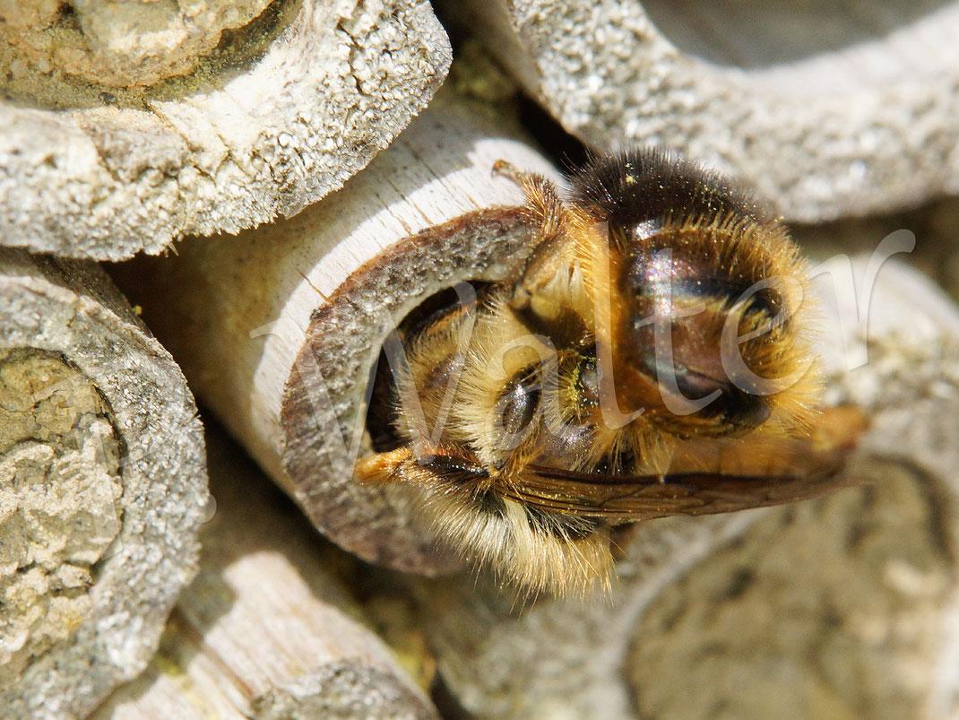 Bild: Weibchen, Rostrote Mauerbiene, Osmia bicornis, beim Verschließen ihres Nistgangs im Bambusrohr