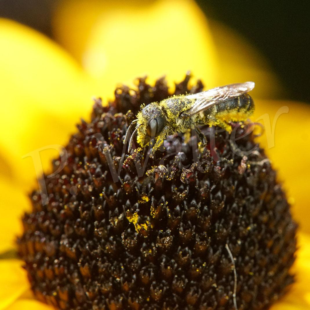 Bild: Löcherbiene, Osmia truncorum, Heriades truncorum, Sonnenhut, Rudbeckia, Blüte