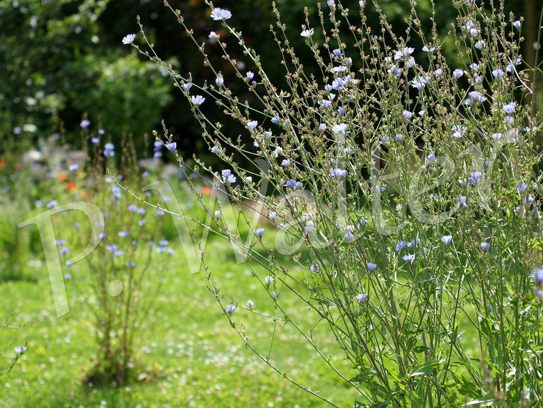 09.07.2016 : Wegwarten als Inseln im Rasen, wahre Dauerblüher über Wochen, dafür aber nur vormittags ...