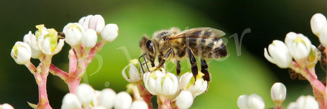 Bild: eine Honigbiene, Apis mellifera, trinkt Nektar des jungen Bienenbaums, Euodia hupehensis