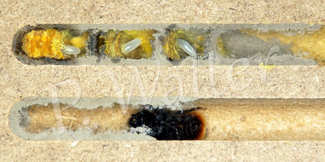 Bild: Beobachtungsnistblock mit 8 mm Gängen, ein Weibchen der Gehörnten Mauerbiene, Osmia cornuta, Nistkammern mit Pollen, Nektar und Eiern