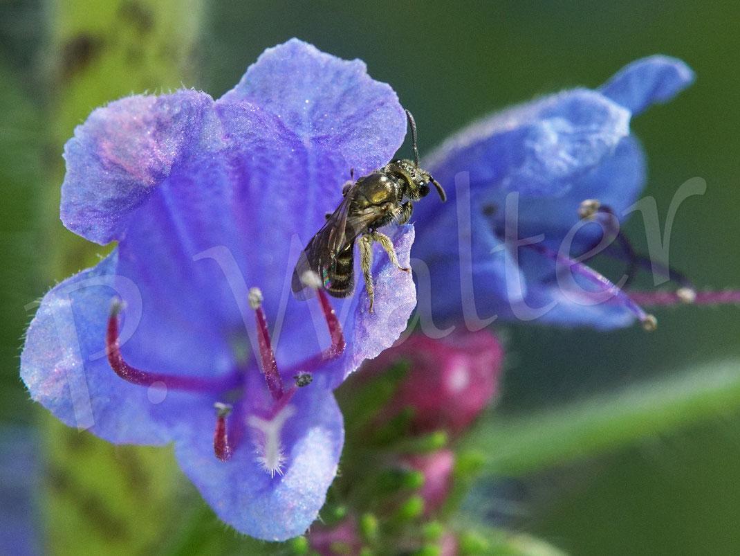 Bild: kleines Furchenbienenweibchen, Halictus spec., am Natternkopf