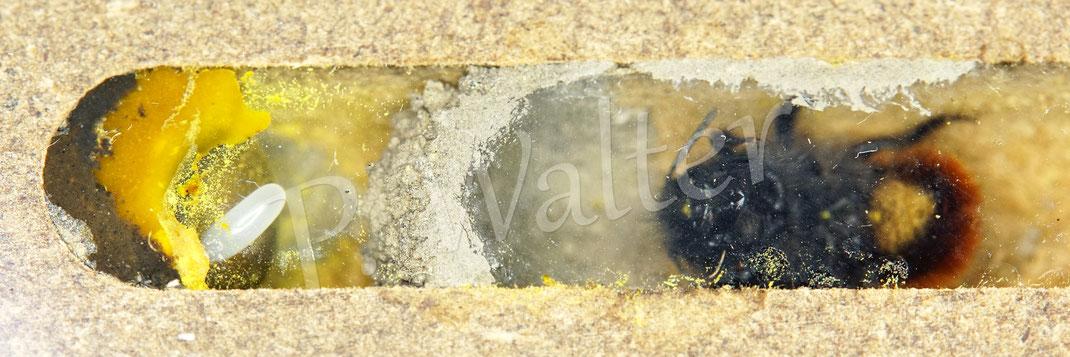 Bild: Beobachtungsnistblock mit 9,5 mm Gängen, Gehörnte Mauerbiene Weibchen, Osmia cornuta, Nistkammer mit Pollen, Nektar und Ei