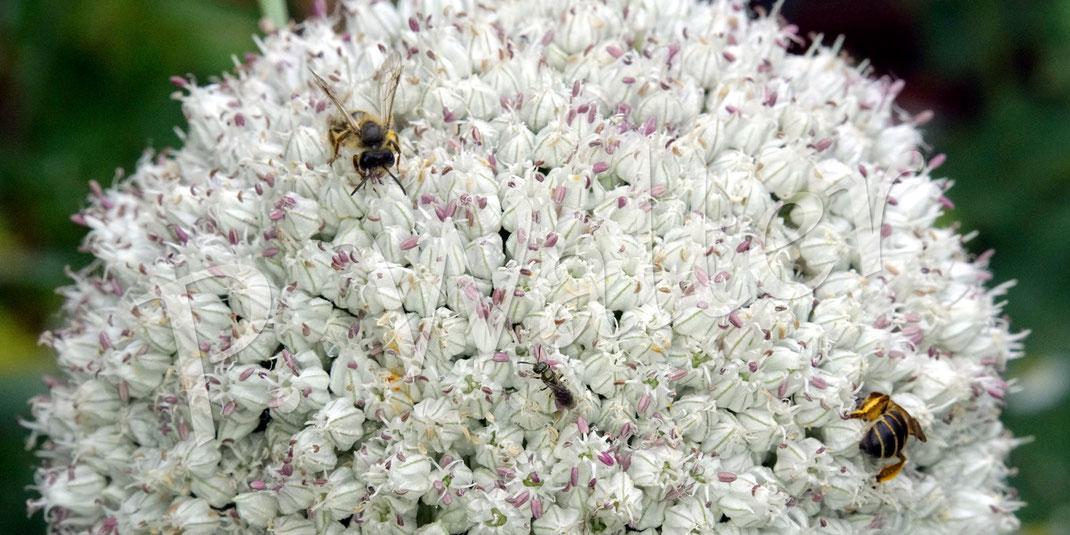 Bild: die Blüten des Porrees / Lauchs sind extrem beliebt bei diversen Wildbienenarten, hier zwei Sandbienen (?) und eine Maskenbiene