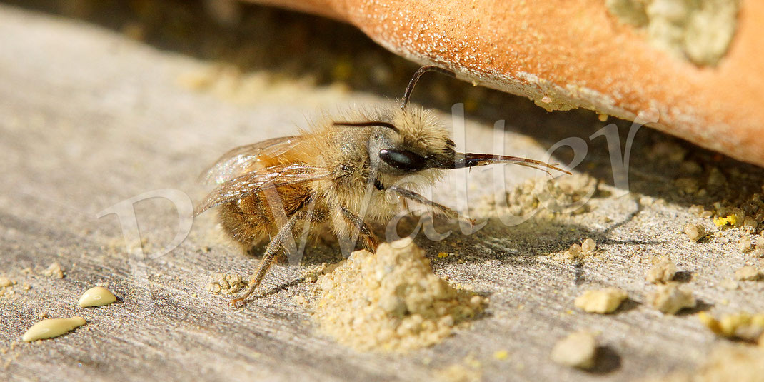 """07.04.2019 : das frisch geschlüpfte Männchen der Rostroten Mauerbiene hat erst mal seinen Darm entleert und """"streckt der Kamera die Zunge raus"""" ..."""