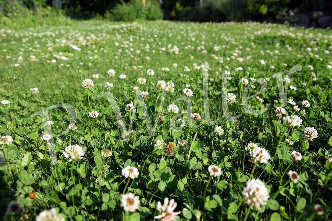 22.06.2016 : Weißklee im Rasen, die Hummeln (eine unschrafe Ackerhummel z.B. in der Mitte) lieben ihn
