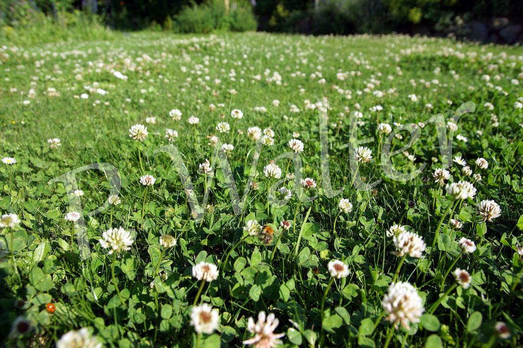 22.06.2016 : Weißklee im Rasen, die Hummeln (eine unscharfe Ackerhummel z.B. in der Mitte) lieben ihn