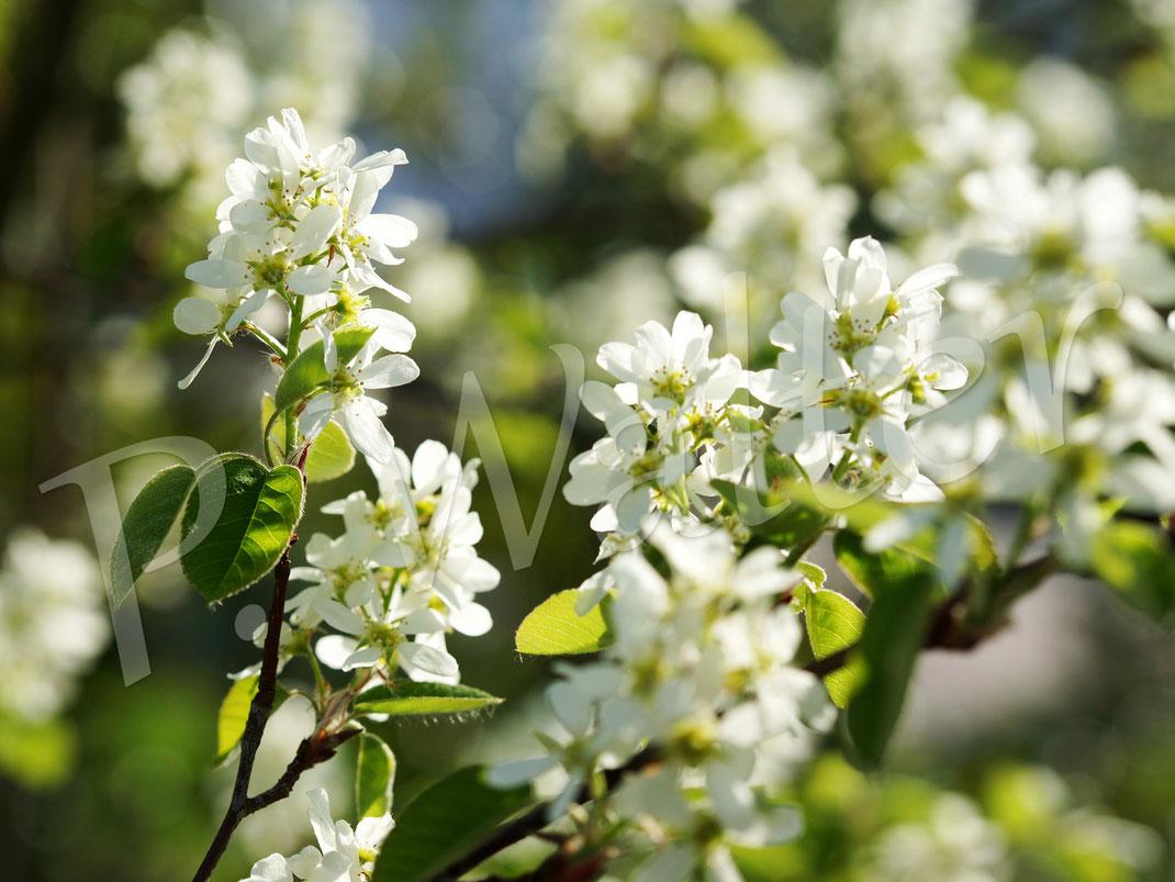 Bild: Blüten der Gemeinen Felsenbirne, Amelanchier ovalis, Amelanchier rotundifolia