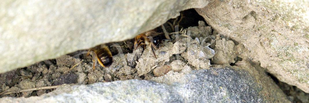 Bild: zwei Weibchen, Rostrote Mauerbiene, OSmia bicornis, an einer der vielen Lehmsammelstellen, bevorzugt in den Mauernischen