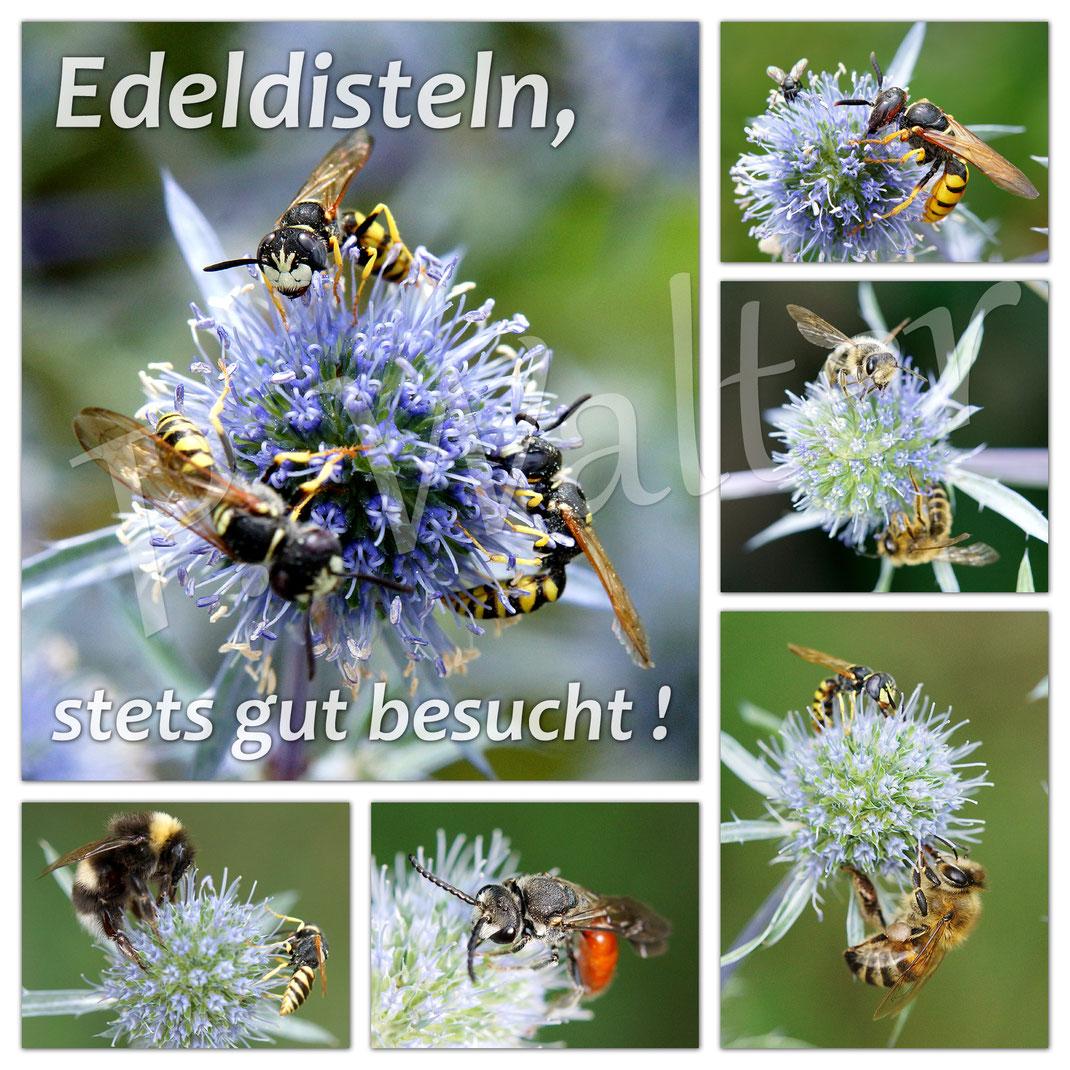 ... eine kleine Übersicht der Besucher von Edeldisteln ...