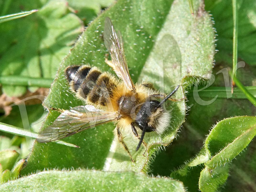 Bild: wahrscheinlich ein Männchen einer Binden-Sandbiene, Andrena gravida