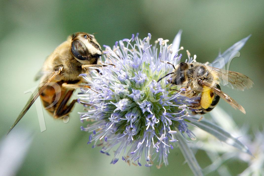 21.07.2017 : eine Schwebfliege und eine kleine Wildbiene teilen sich eine Kugeldistelblüte