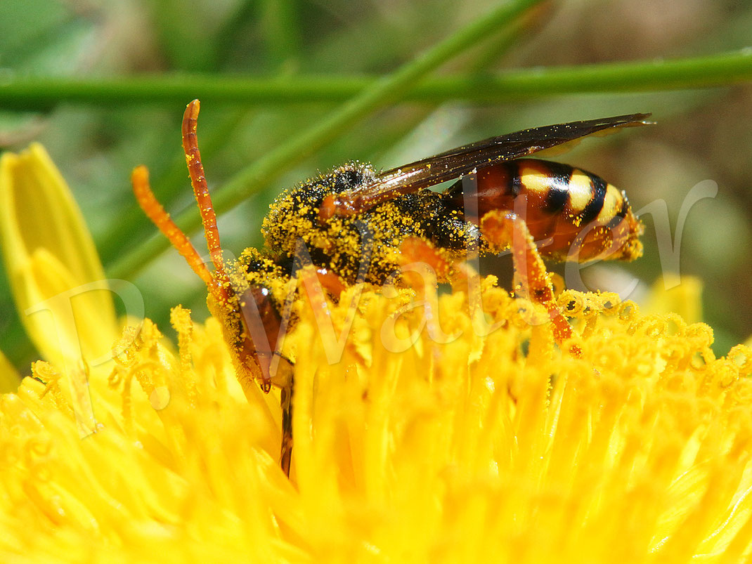 08.05.2018 : eine Wespenbienenart am Löwenzahn