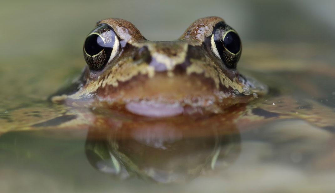 Der Grasfrosch liebt kleine Teiche und Weiher. Foto: © R. Sturm, LBV Bildarchiv