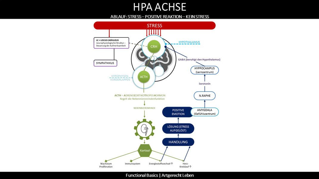 HPA-Achse