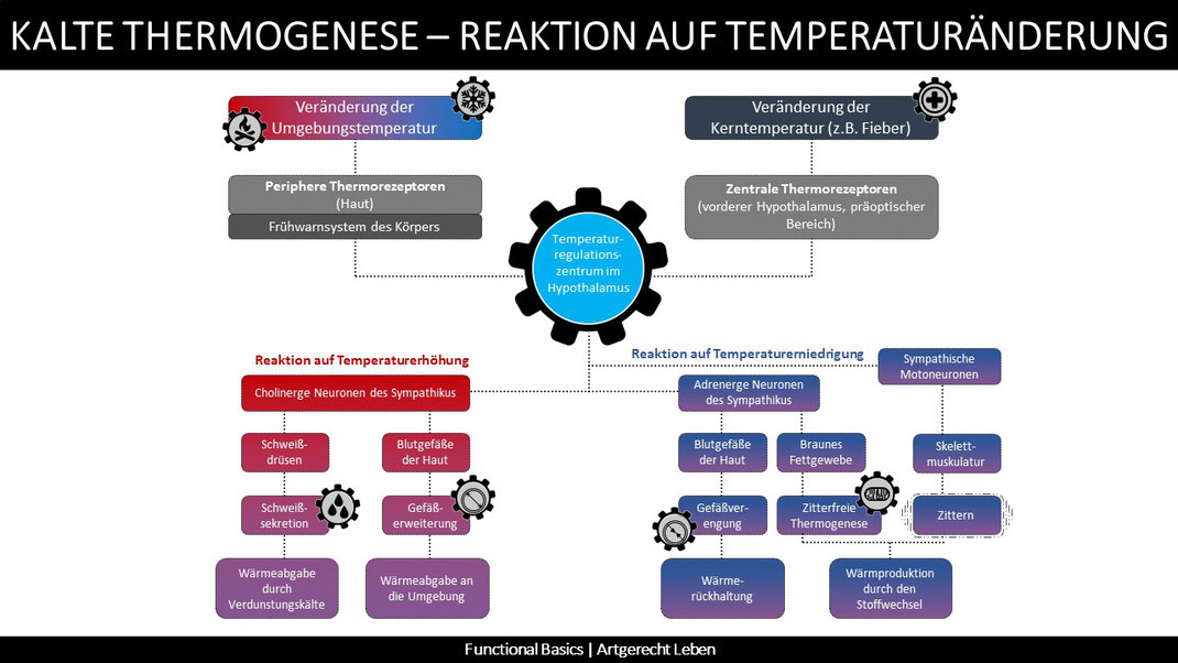 Was ist kalte Thermogenese?