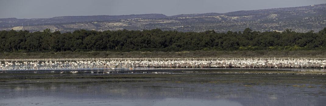 Greater Flamingo - Rosa Flaming Breeding Kolonie - Akrotiri Salt Lake 04.12.2019