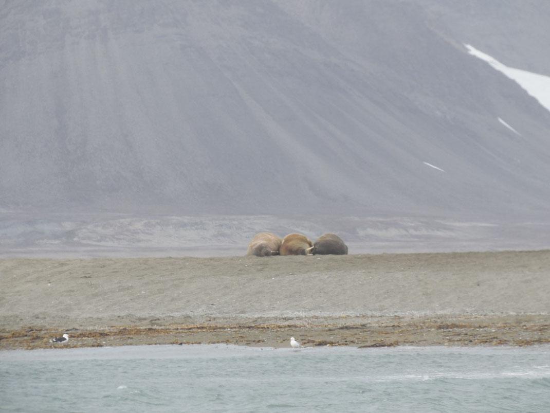 Spitzbergen, Svalbard, Longyearbyen, Walross