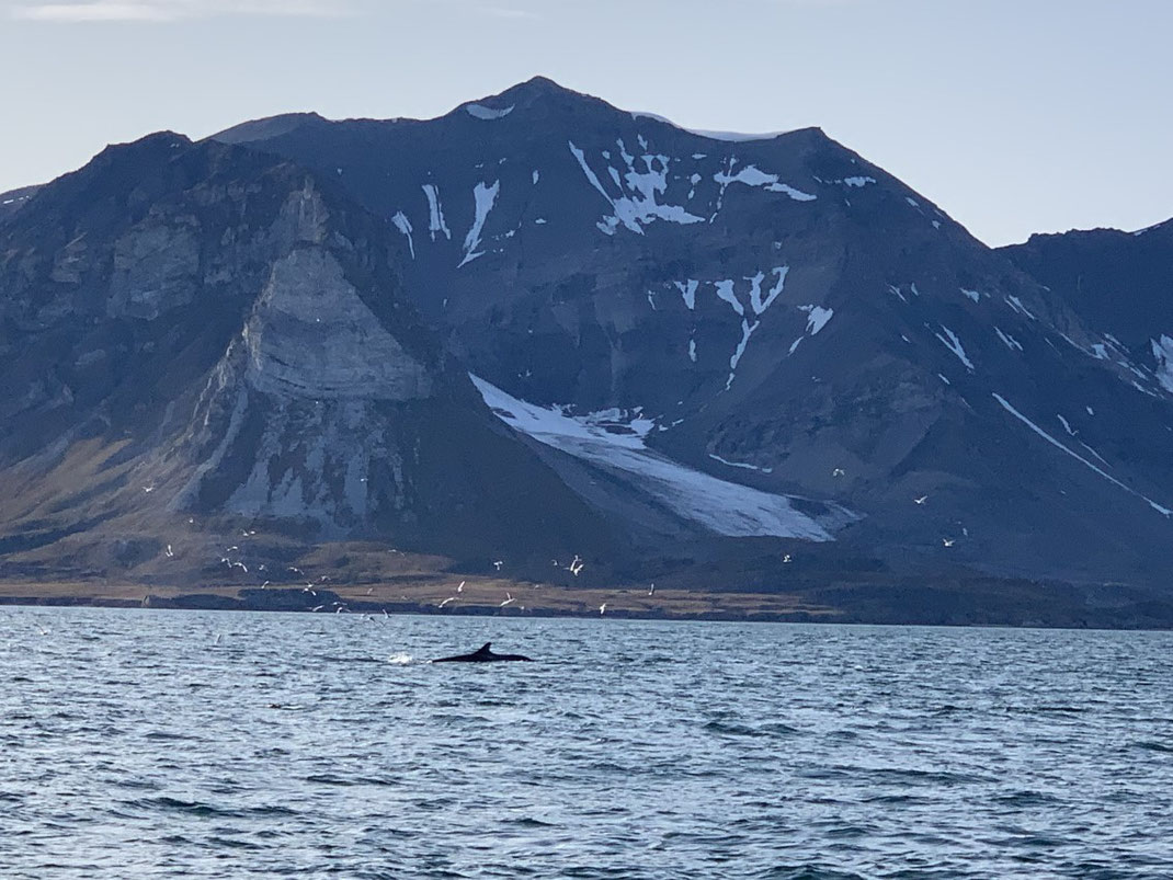Spitzbergen, Svalbard, Wal, Wale, Whale, Whale watching, Islfjord