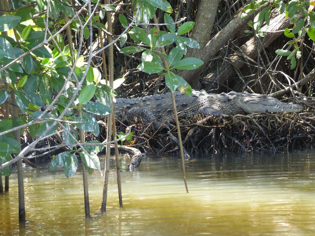 Jamaika, Jamaica, Treasure Beach, BlckRiver, Krokodil