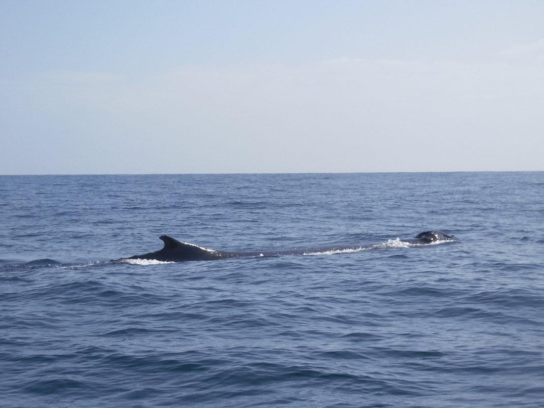 Dom Rep, Dominikanische Republik, Samana, Whalewatching