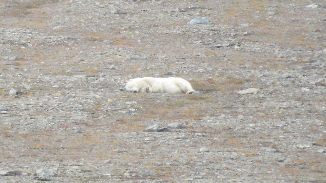 Spitbergen, Svalbard, Islfjord, Pyramiden, Eisbear, polar bear