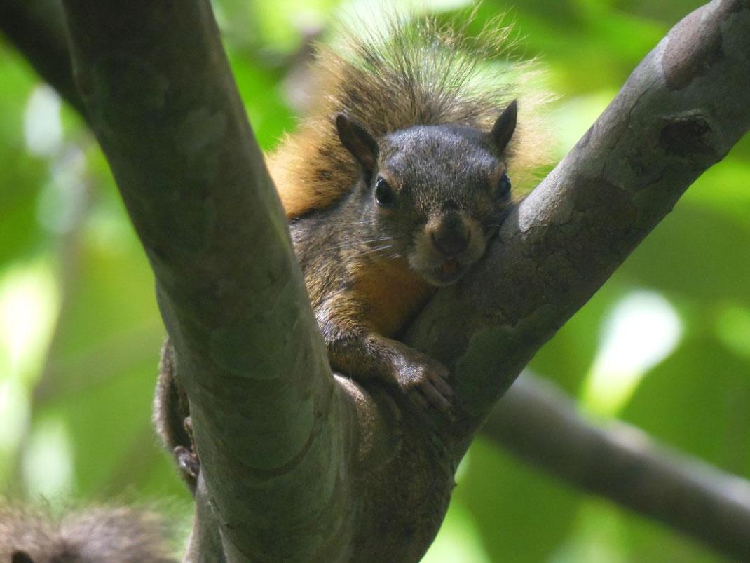 Mittelamerikanisches Berghörnchen, Eichhörnchen, Costa Rica, Deppes