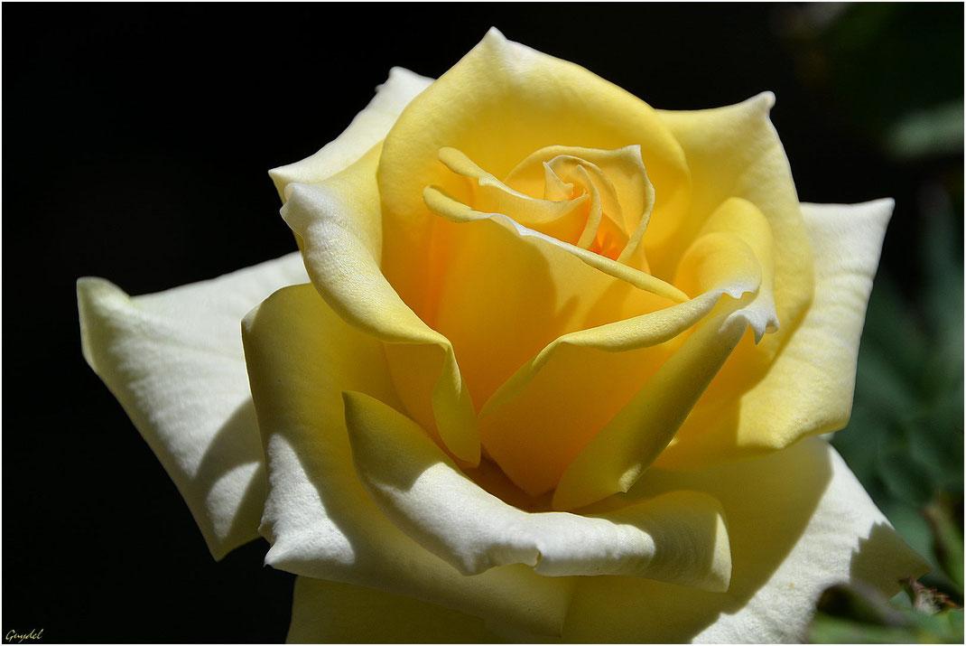 Hésitante ... entre jaune et blanc !
