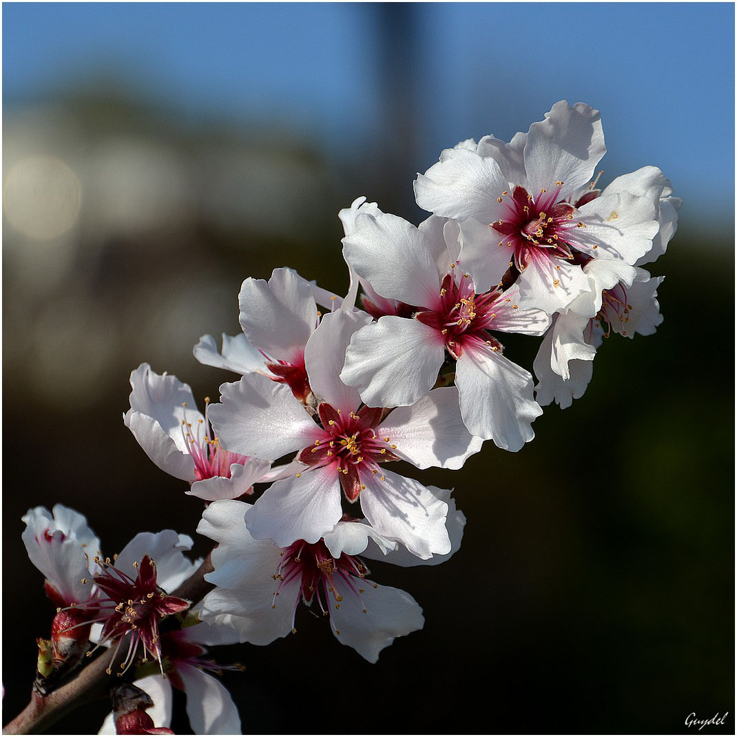 Amandier en Fleurs