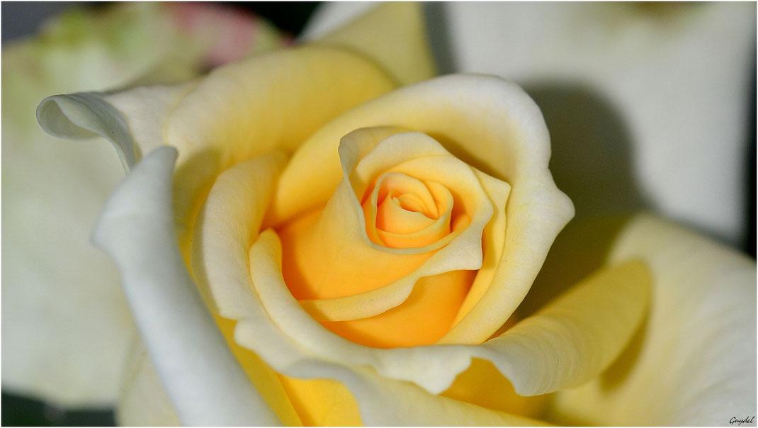 Sugar Rose ?