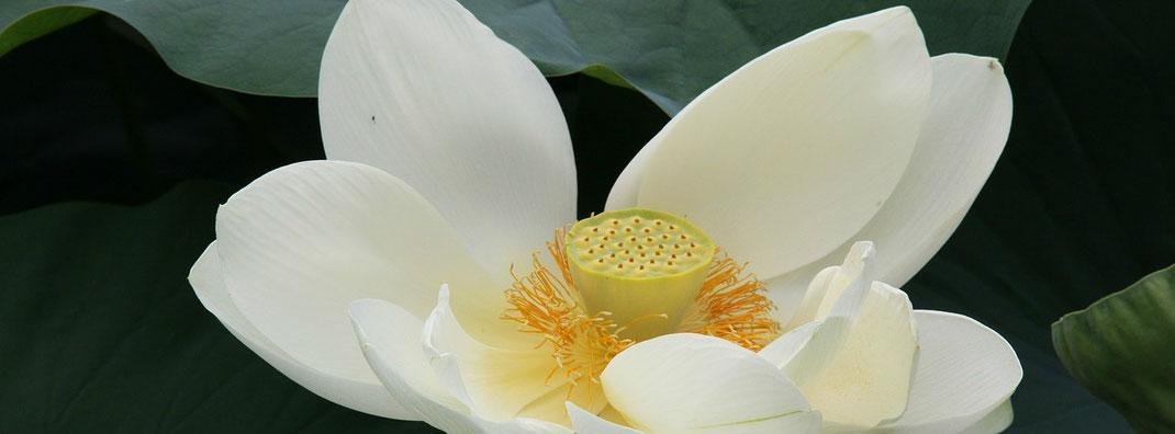 Lotusblüte als Zeichen für Entspannung