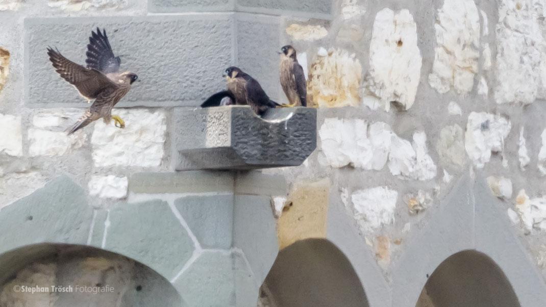 2 von 3 flüggen juvenilen Wanderfalken mit einem adulten Individuum auf dem Turm des St. Johann (Foto: S. Trösch, 01.06.2017)