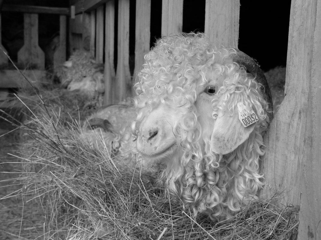 Les chèvres Angora de L'Atelier Fibre Laine