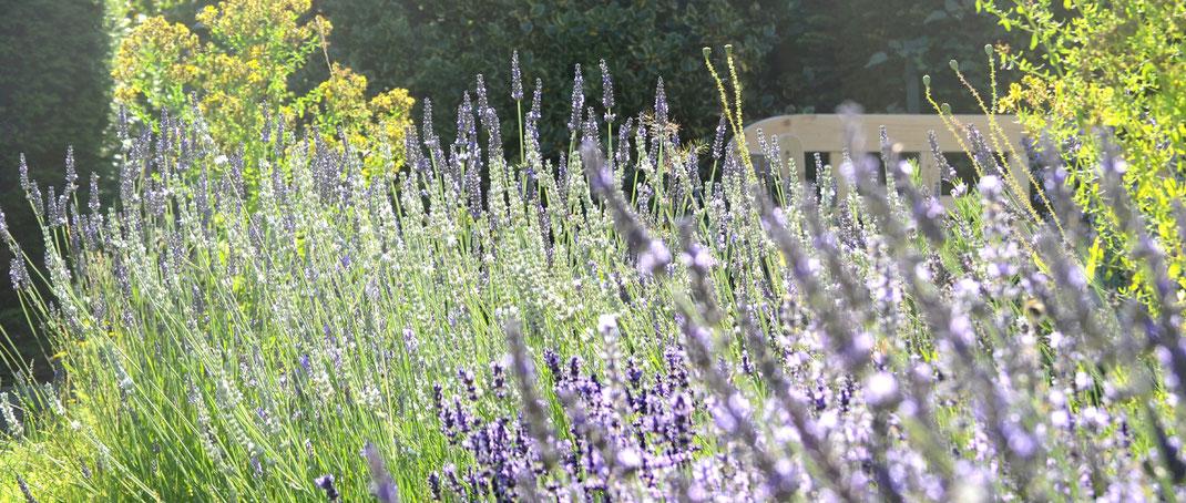 Lavendeln im Garten Rosenwind