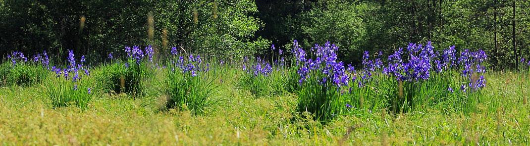 Iris sibirica Blaue Schwertlilie Sibirische Schwertlilie Wiesen-Schwertlilie Wasenlöcher Illerberg Vöhringen Wullenstetten Senden Feuchtwiese Streuwiese Molinion Biotop Naturschutz Naturschutzgebiet LBV Neu-Ulm