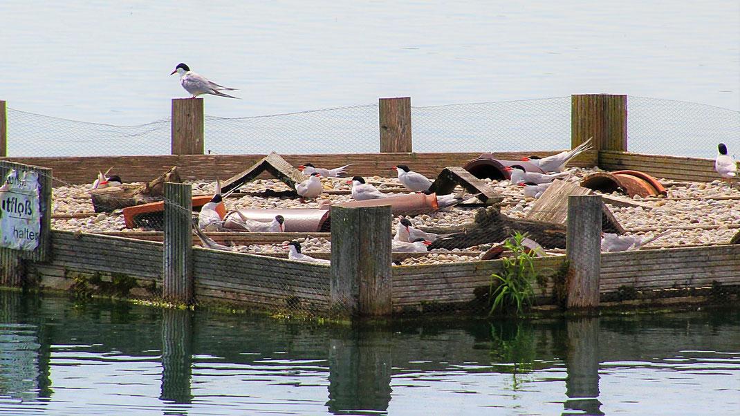 Fluss-Seeschwalbe Sterna Hirundo Brut Brutfloß Natursee Wullenstetten Senden Baggersee Artenschutz LBV Neu-Ulm