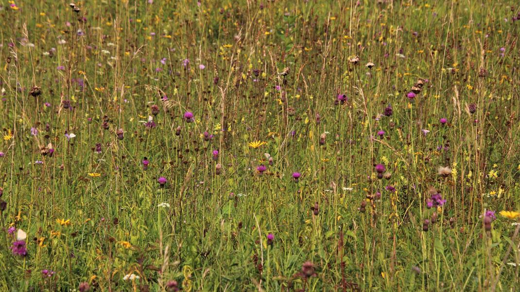 Thalfingen Kugelberg: Magerrasen, Trockenrasen, Kalkmagerrasen mit reichem Blütenangebot und vielen Schmetterlingen; LBV Neu-Ulm