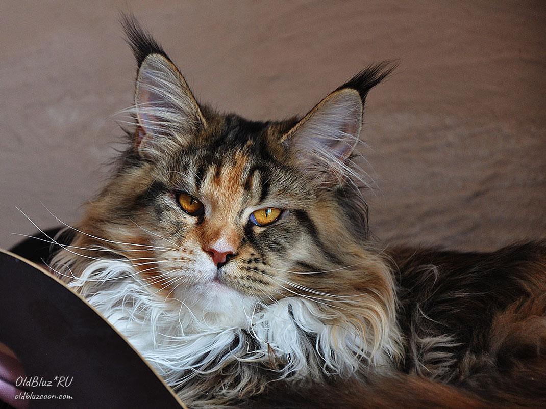 Iskra Oldbluz кошка мейн-кун черная пятнистая черепаховая с белым MCO f 24 09