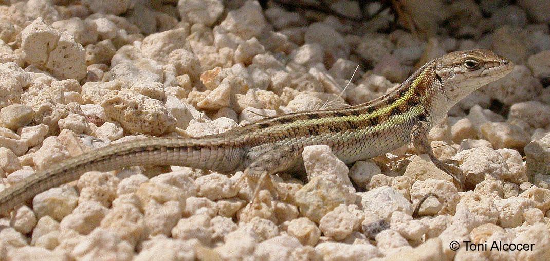 Psammodromus edwardsianus. Clot de Galvany (Elche, Alicante). © Toni Alcocer