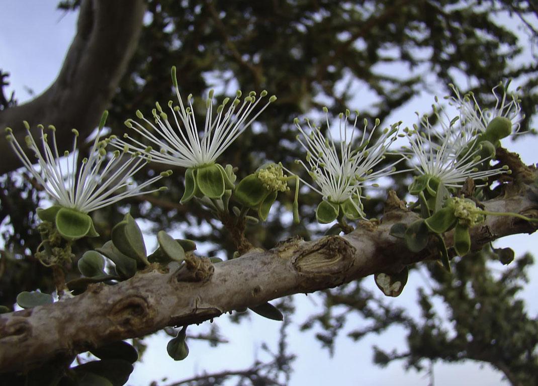 Fleurs de Maerua crassifolia à quatre sépales et nombreuses étamines, plante-hôte au Maroc de B. aurota et de C. chrysonome © Ahmed El Aboudi