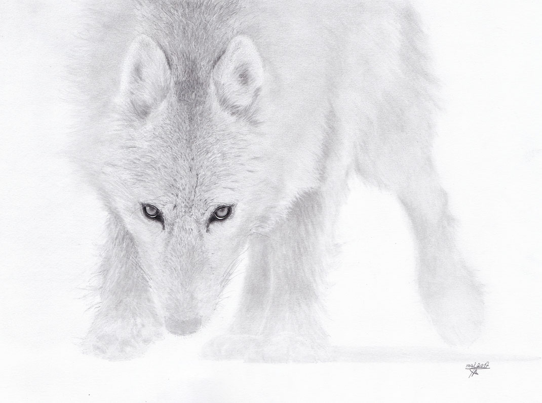 Loup, Loup blanc, Regard d'un animal qui voit l'homme pour la première fois de sa vie
