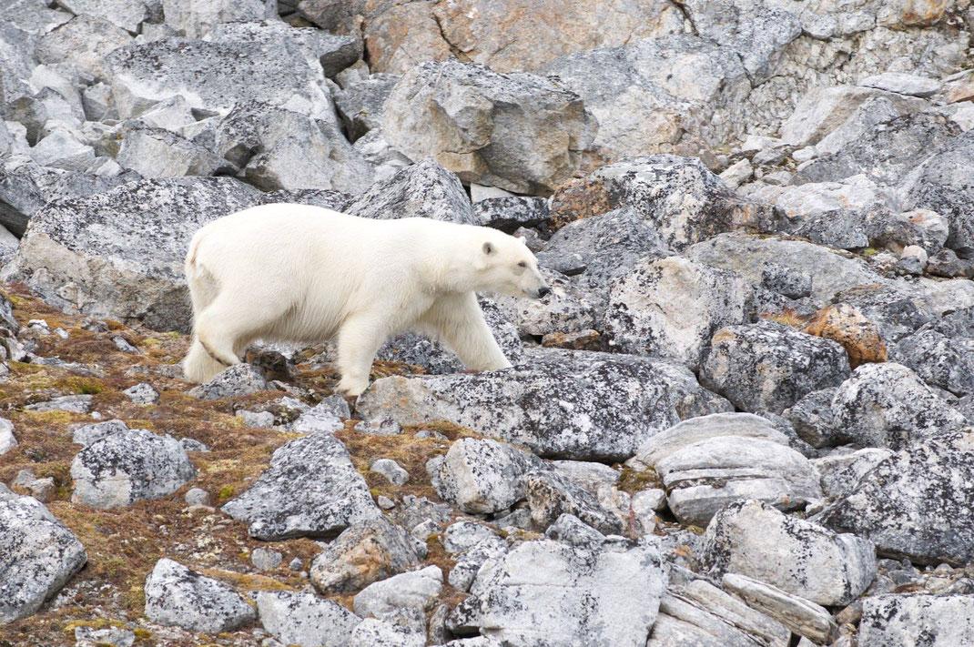 Foto: ©Christa Bott. Titel: Arktis2_Eisbär