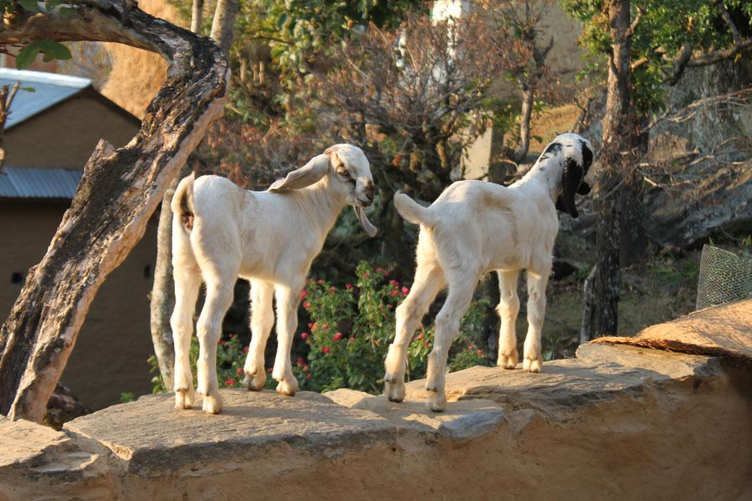 C'est y pas mignon de passer un peu de temps avec les chèvres ?