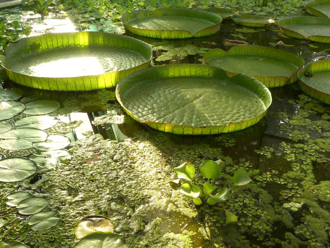 Serre aux nénuphars du jardin botanique, Zagreb, Croatie.