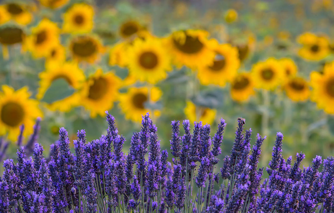 mix of yellow and purple colors in a lavender fields with sunflowers, summertime, Provence, France