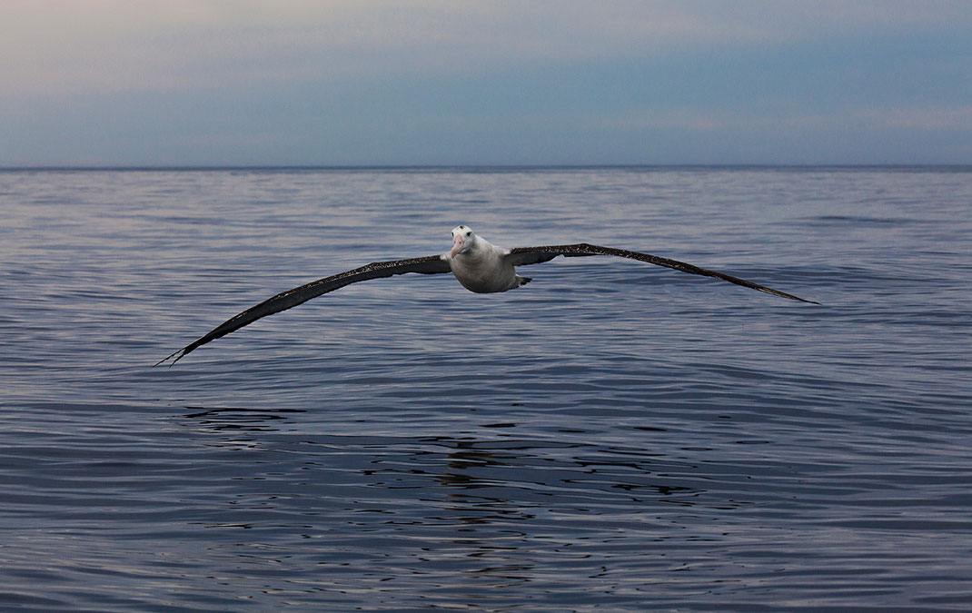 Northern Royal Albatross bird flying at the Southern Pacific Ocean, Kaikoura, New Zealand, 1280x808px