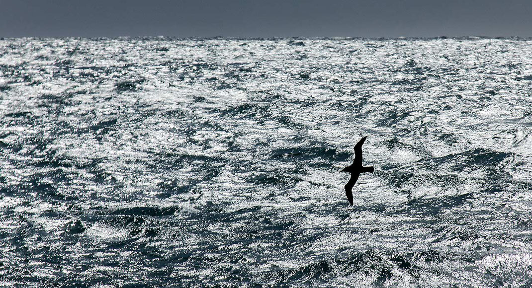 Albatross flying above the South Pacific Ocean Waves in Sunlight, Dunedin, New Zealand, 1280x964px